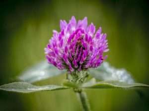 Red-Clover1