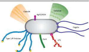 Bacterial-Adhesion